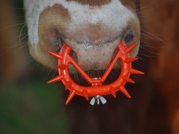 The Spiked Nose Ring: A Symbol for All Dairy Cruelty  - these are inserted into a baby calf's nose so he is UNABLE to drink his mama's milk so disgusting humans can eat ice cream - he will be slaughtered while still a baby - By Ashley Capps | May 16, 2013