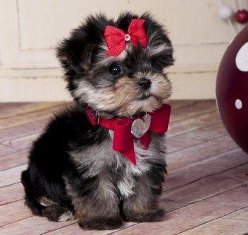 Morkie?   Too cute!