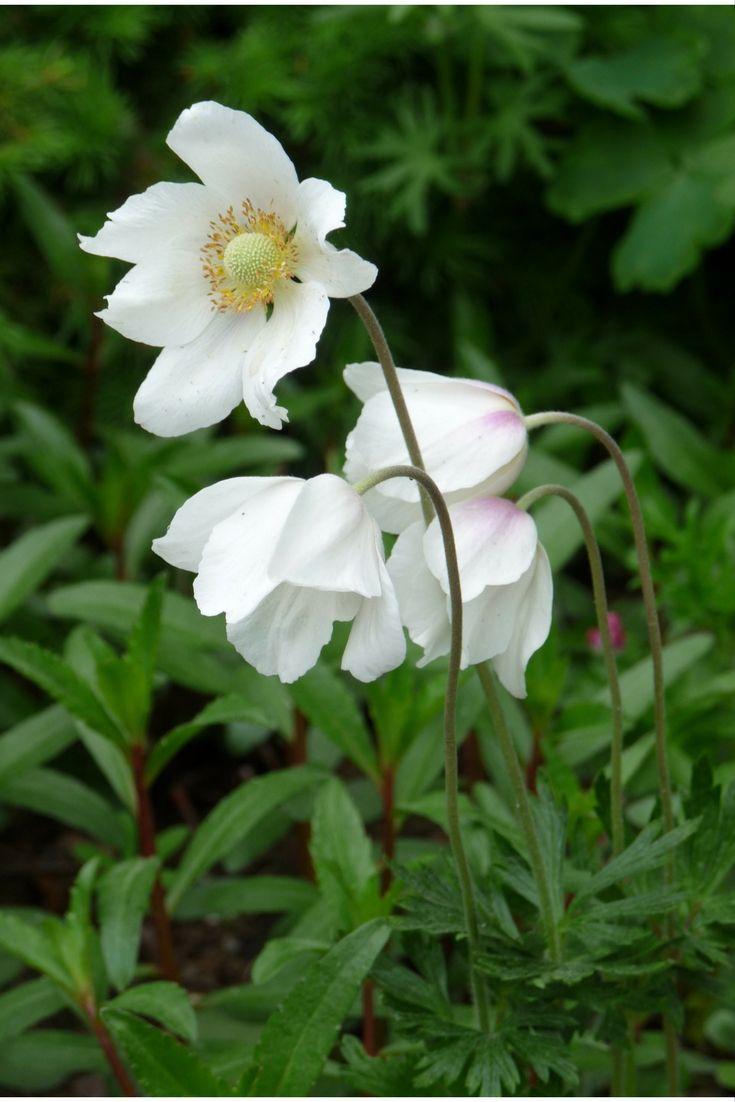 Anemone sylvestris, tovsippa. Ljuvliga enkla vita blommor på nickande stjälkar. Sprider sig till vita  mattor som blommar på våren.