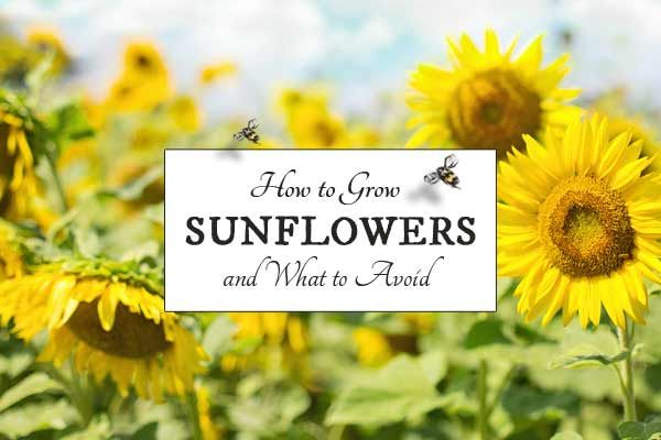 Sunflowers are a favorite in many gardens and there are many beautiful varieties available. Find out which plants should not be placed near sunflowers and which ones benefit from them.