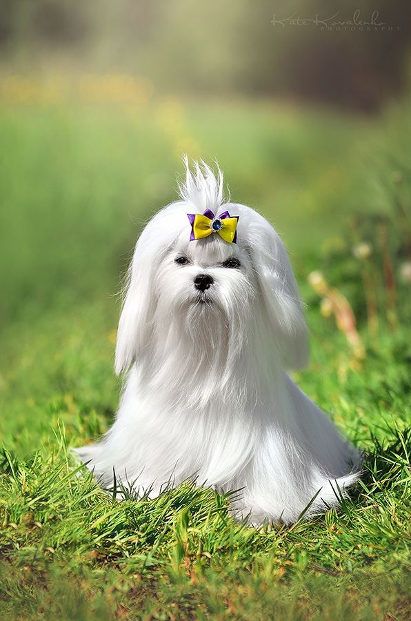 The Most Beautiful Maltese Puppy Who We Ever Seen Maltese Puppy