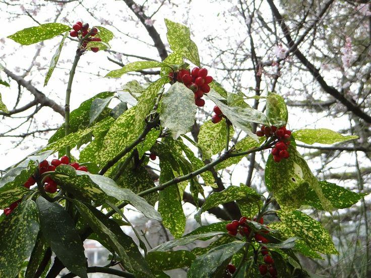 http://www.unquadratodigiardino.it/forum-di-giardinaggio/arbusti-e-rampicanti/25707-aucuba-japonica-meraviglia-invernale.html