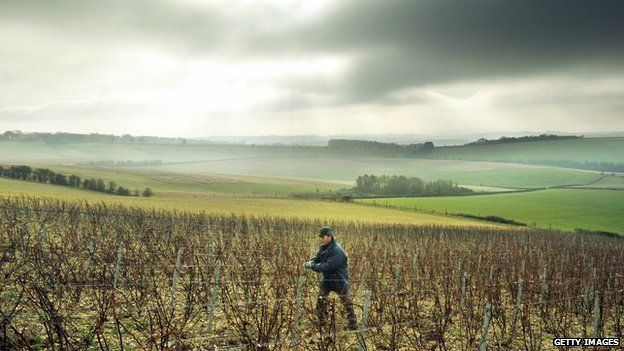 Frenchman Didier Pierson works amongst the vines at his vineyard near Chidden, Hampshire, on December 15, 2008