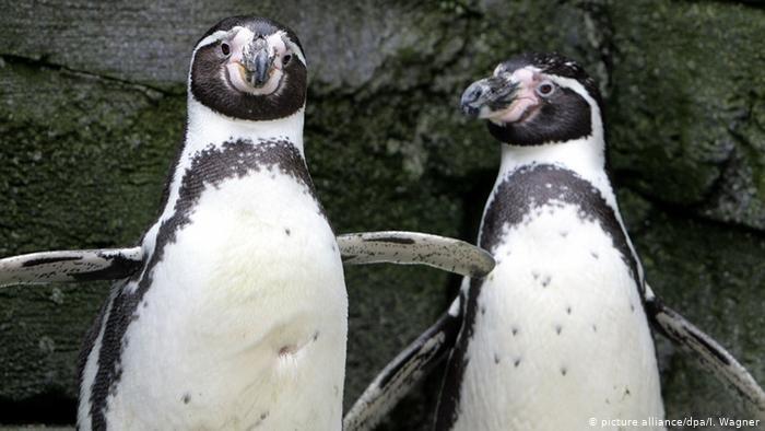 Tierpaare Humboldt-Pinguine