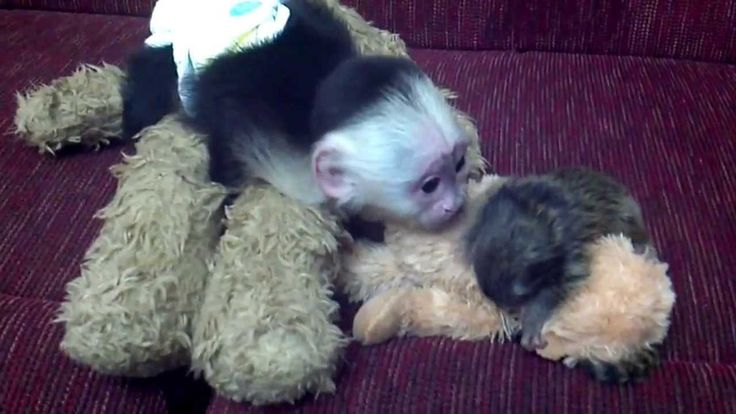 Capuchin meets baby marmoset monkey - Aww my heart is melting!