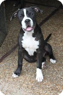 Pompano Beach, FL - American Staffordshire Terrier/Pit Bull Terrier Mix. Meet Shelby a Dog for Adoption w/ Luv-A-Bull All Breed Rescue Inc.