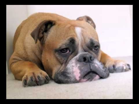 Funny Birthday Song (Bosco the Bulldog) kort, bruikbaar