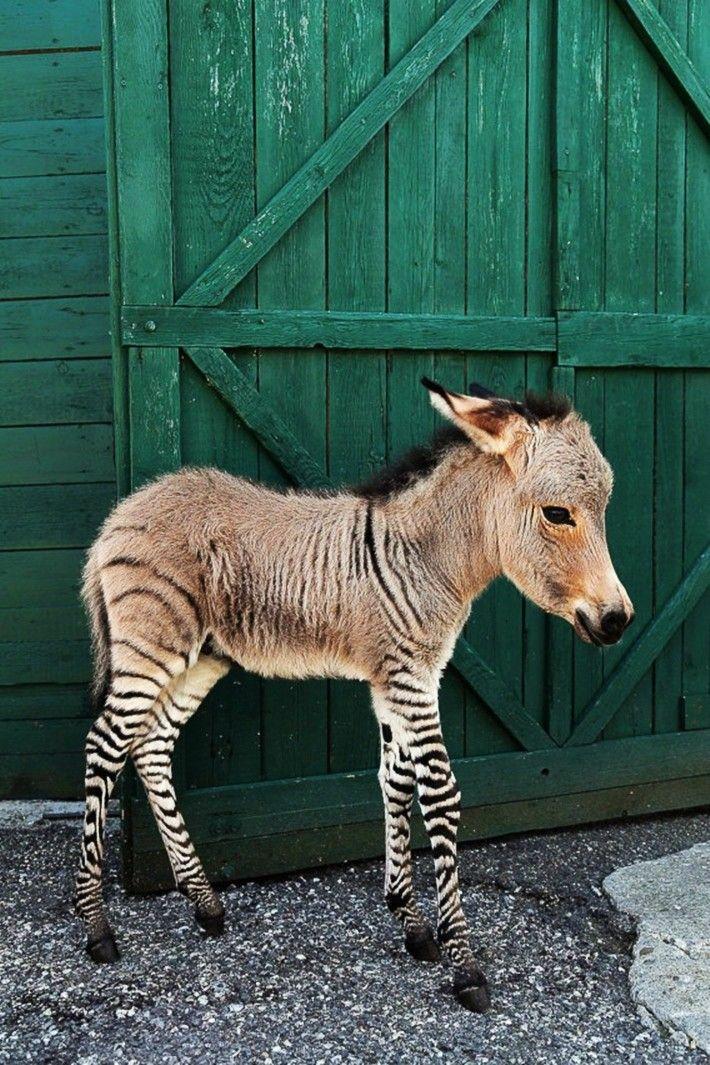 17+ best images about Zebras, donkeys, mules on Pinterest ...