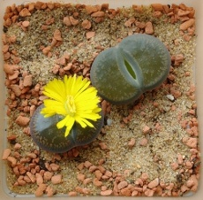 Lithops need a cactus mix or potting soil with some sand incorporated.    The potting media needs to dry before you add moisture and you must place the pot in as bright an area as possible.