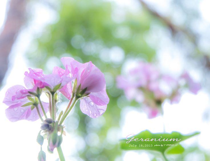 道のりを記憶に残して: 雨上がりの朝、ピンクのゼラニウムとブルースター/花・ガーデニング