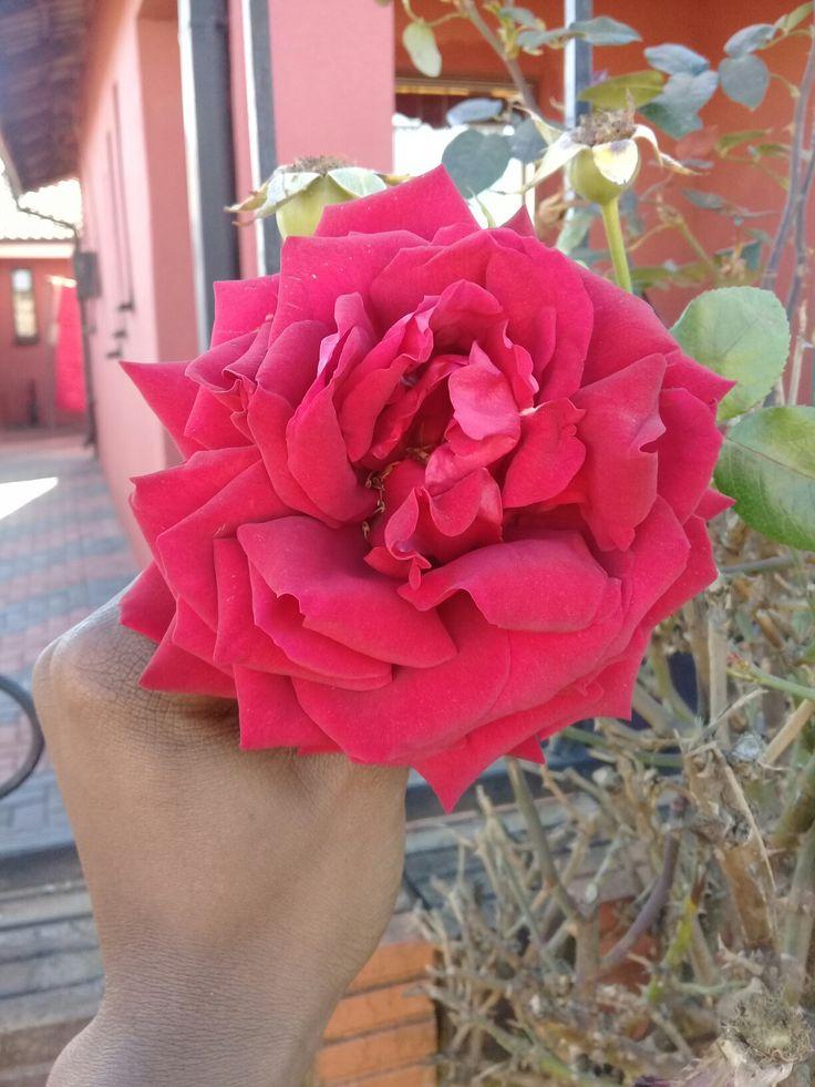 My neighbors roses