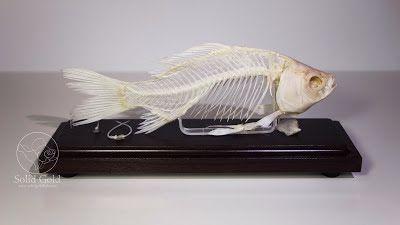Solid gold goldfish skeleton fishkeeping pinterest for Solid gold fish