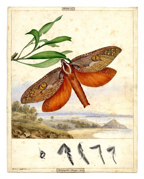 Bent-wing Swift Moth, c1860 | The Store by Fairfax