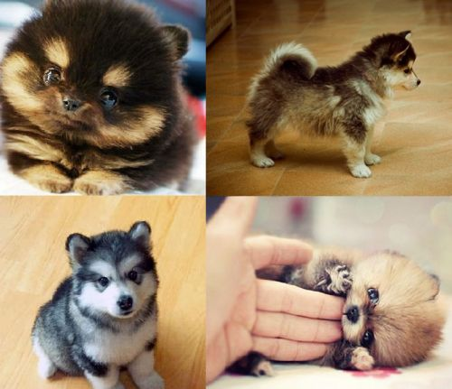 Pomeranian/Husky POMSKY!  I wannnnttt! A little miniature! So cute!