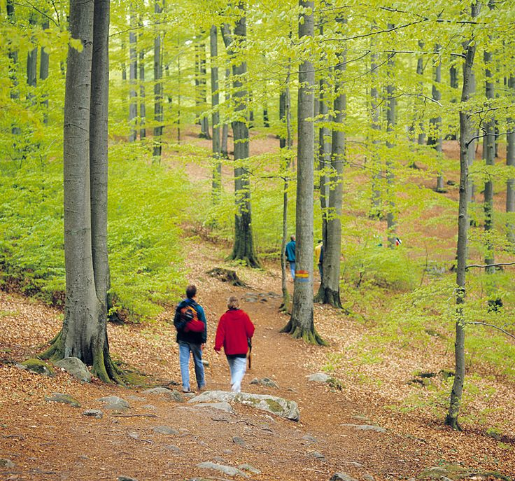 Beech forest in Söderåsen National Park. Photo: Sven Persson/IBL Bildbyrå.