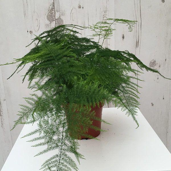 Buy asparagus fern plumosus Asparagus setaceus: Delivery by Crocus