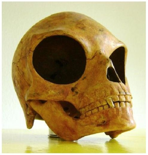 The Sealand Skull (carbon-dated around 1200 A.D.) is about one and a half times larger than a male Homo Sapiens cranium. Especially the eye sockets contribute to its size. Its smooth surface reveals that the creature was adapted to cold climate, and its relative eye size that it was either a night creature, lived underground or on a planet orbiting a remote or dim star, probably an orange or red dwarf. Ancient alien or genetic accident?