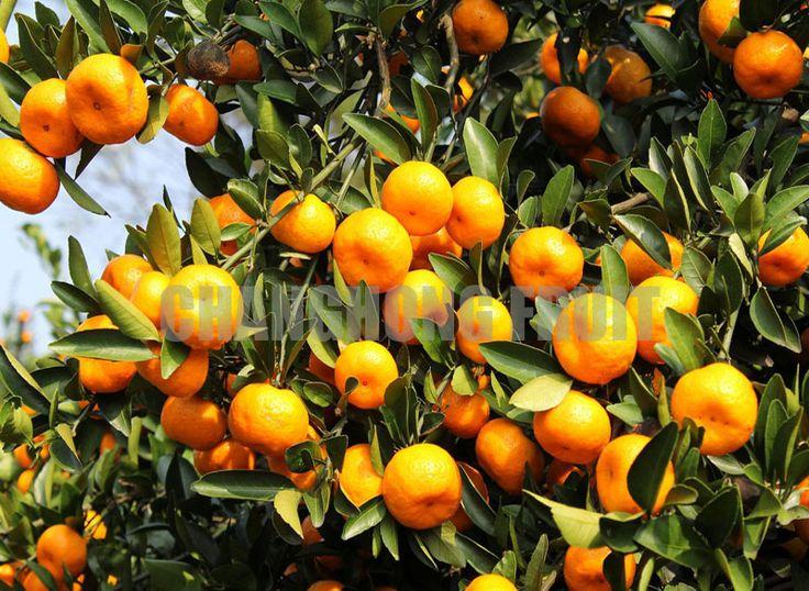 Types of Citrus Fruits | ... all citrus fruits/mandarin ...