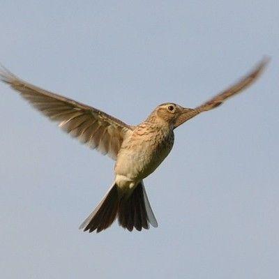 Який європейський птах співає під час зависання в польоті? жайвір! Жайворонки відомі своїм співом, який вони виконують, зависаючи на висоті від 50 до 100 метрів. Тільки самці співають і тільки самці виконують цей незвичайний політ. Вони до цього спеціально підготовлені - їх крила ширші, ніж у самок.