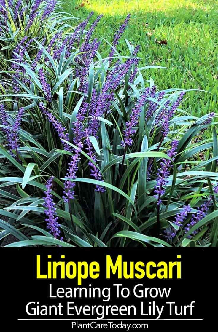 Liriope Muscari Care Learning To Grow Giant Evergreen Lily Turf