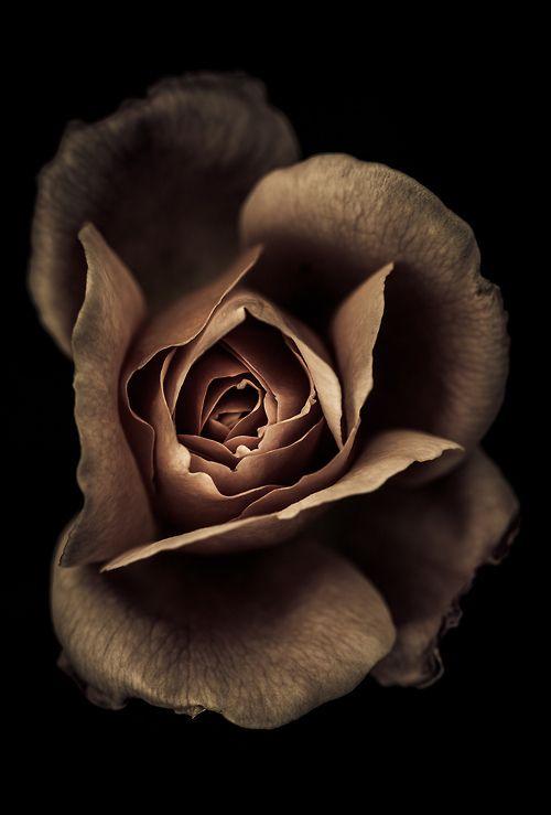 Sepia Rose | via Tumblr on We Heart It.