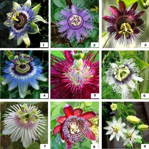 Rooted Cuttings Passiflora Passion Fruit Vine 42 Different Varieties Edible Fruit Liive Plant In 2020 Passion Fruit Plant Flower Seeds Passion Flower