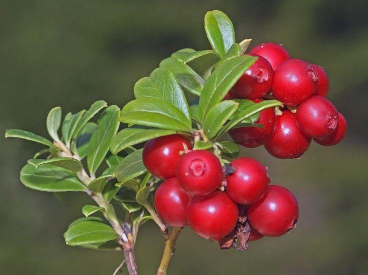 Puolukka, Vaccinium vitis-idaea - Kukkakasvit - LuontoPortti