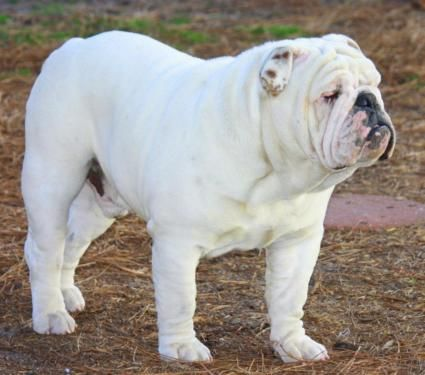 Dogs] Breed: English Bulldog/Victorian Bulldog mix, Gender: Female ...AC
