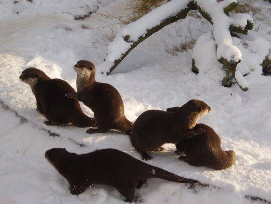 Otters play in the snow