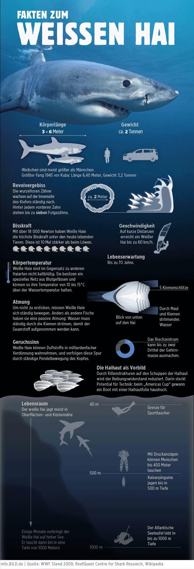 Fakten zum weißen Hai | Infografik | info.bild