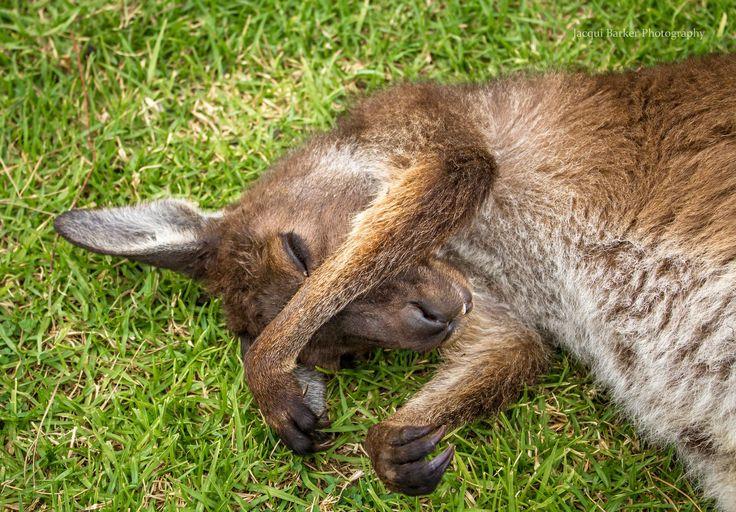 Snoozing Roo
