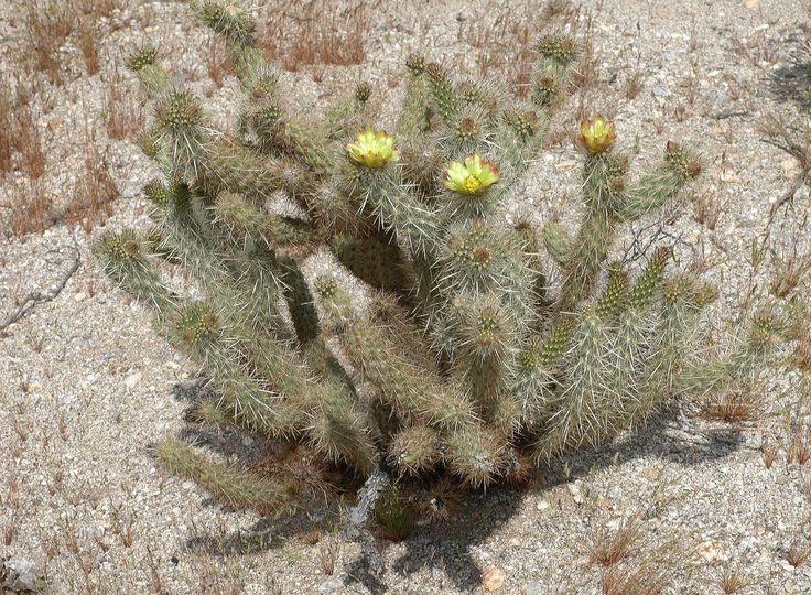 opuntia echinocarpa