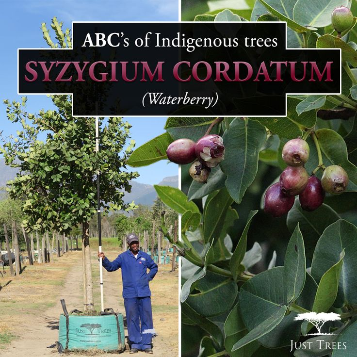 The Syzygium cordatum or Waterberry is a water-loving evergreen and it can be found from KwaZulu Natal up towards Mozambique! It produces a red berry that can be enjoyed by animals and humans alike. This medium-sized tree can withstand wind and salt and serves as a beautiful feature to your landscape!