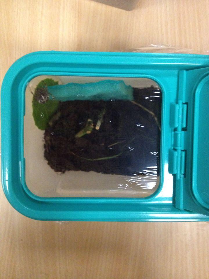 Hoe spinnen in de klas bewaren: gesloten doos (met gaatjes) met aarde, takken (om een web te kunnen maken), blaadjes en een natte spons waar de spin aan kan drinken (spons dagelijks nat spuiten).