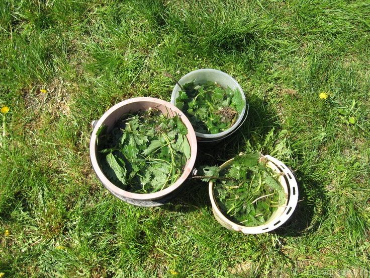 Macerat de urzică: insecticid, fungicid, îngrăşământ