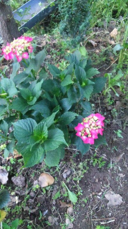 Crecimiento hortensia