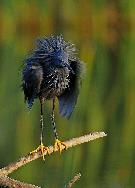 hairyandhandsome:  Black Heron