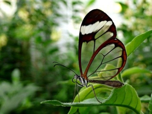 "The glasswinged butterfly (Greta oto) is found in Mexico through Panama though some species have been spotted in Venezuela. The males of the species are known to lek (gather together). The transluscent wings can grow as much as (tip to tip) 2.4 inches. The ""glass-like"" appearance of the wings is due to the lack of tissues or scales between the veins."