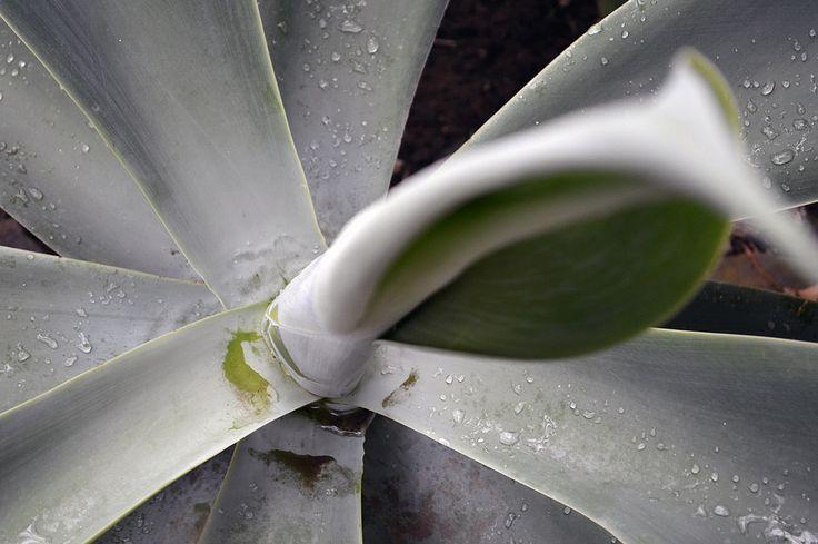 https://flic.kr/p/xDpcrd   Pinguicula agnata - 1 - National Botanic Garden Meise
