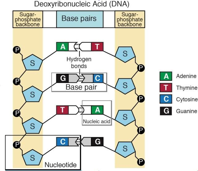 #NucleicAcids are organic molecules that allow organisms to transfer genetic information from one generation to the next. DNA and #RNA are the two types of nucleic acids.