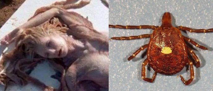 Fotos de una sirena real muerta estremecen la red. La picadura de esta garrapata te vuelve vegetariano