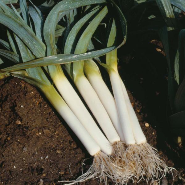 Como Plantar Puerros 7 Pasos Plantar Horticultura Cultivo De