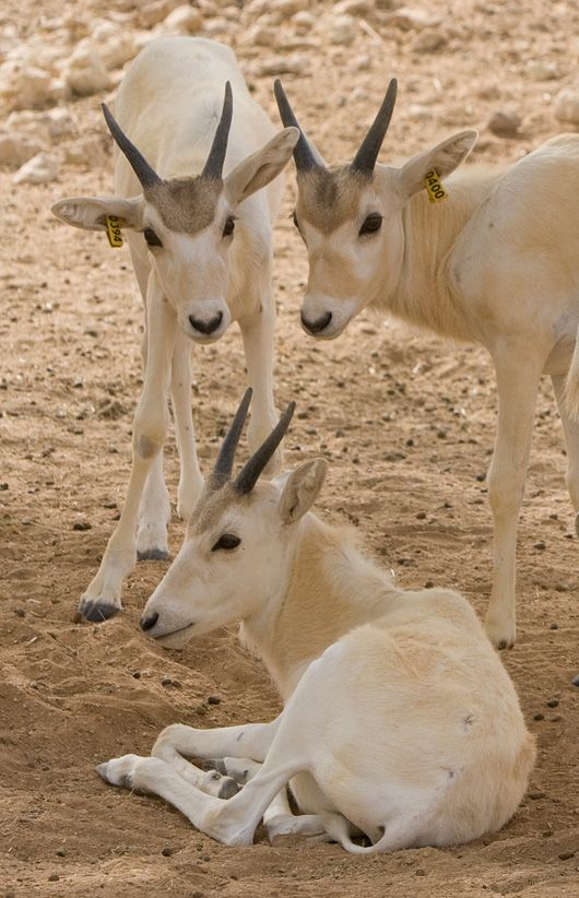 The Addax (Desert Antelope) is a critically endangered antelope native to the…