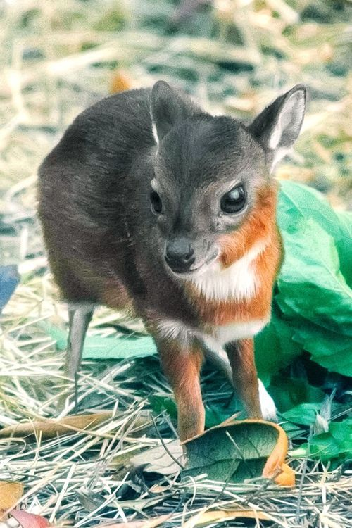 The Royal Antelope is the world's smallest species of antelope, standing only 10-12 inches high as adults, and this little fawn is only about half of that height!