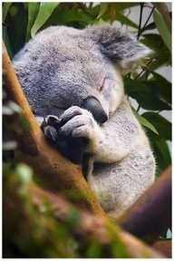 #Coala #fofo #dormindo .