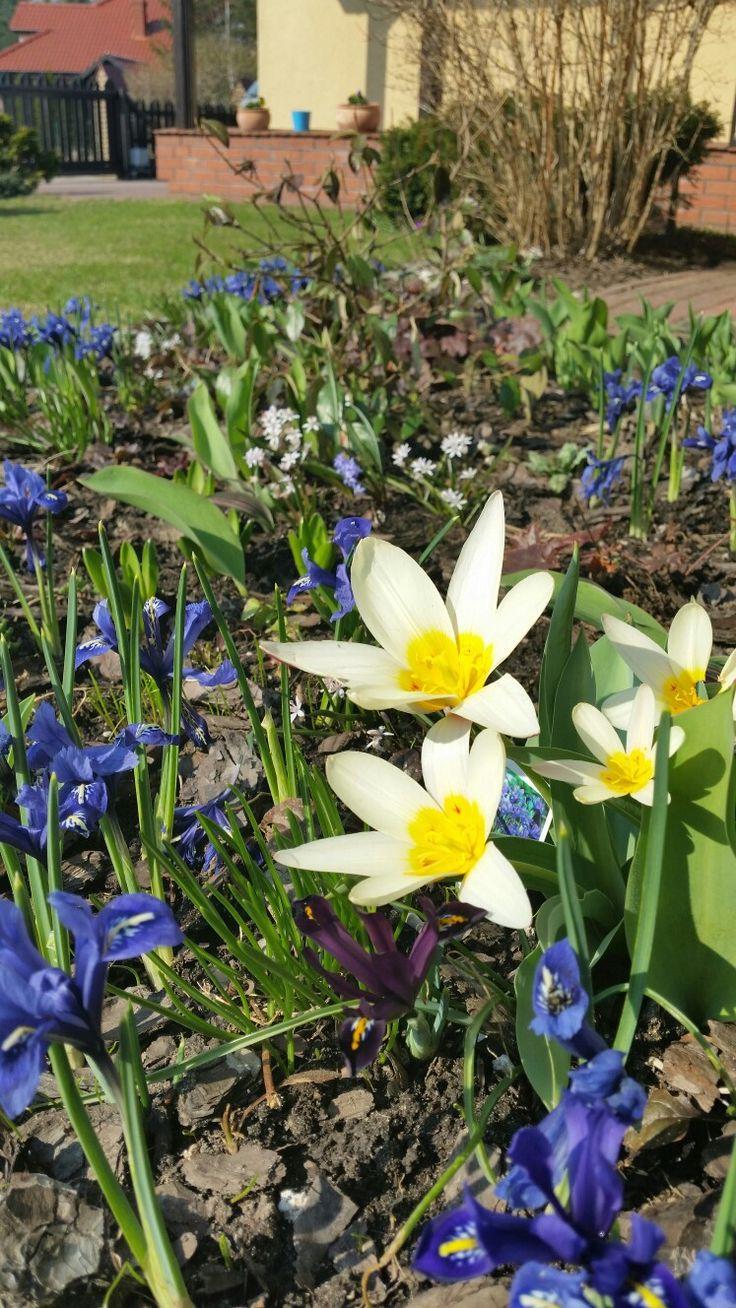 Miniaturowe irysy i tulipany