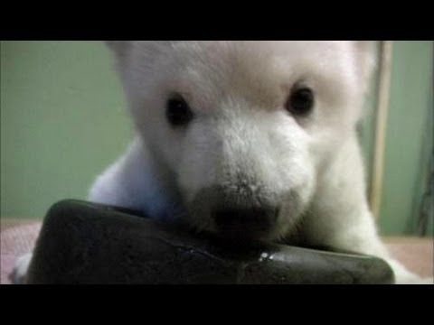 Polar Bear cub learns to walk, gets mucky, takes a bath, is incredibly adorable..... Ahhh I want one!