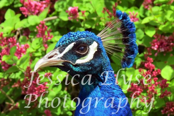 close up photograph of a peacock in front of by jessicaelysephotos, $30.00