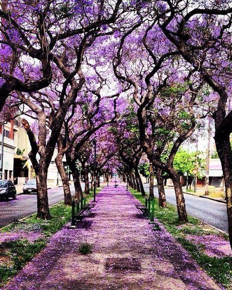 Algo,que nunca se fue...y que aqui se quedo !!Jacaranda alley, La Plata / Argentina (by Damian Iomha).