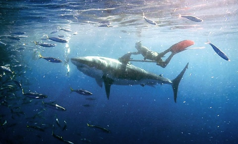 MARK HEALEY free diving with great white!!!